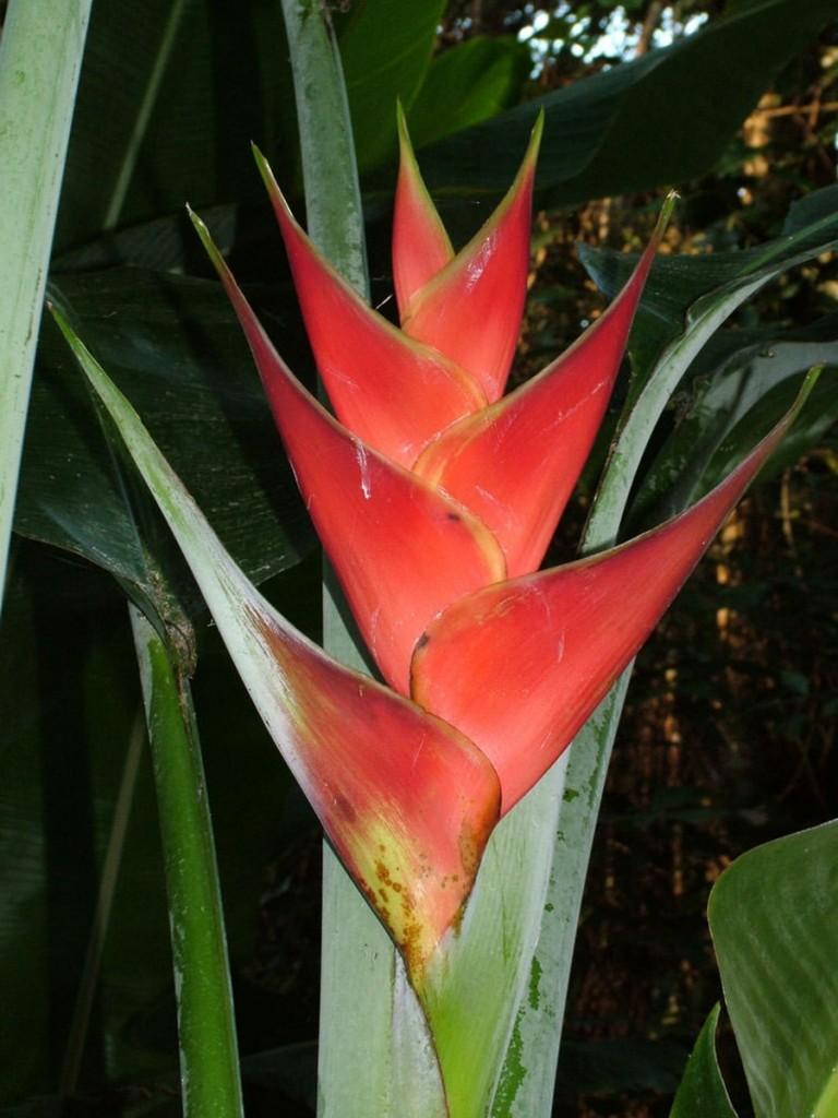 Heliconia Caribaea ( Barbados Flat)