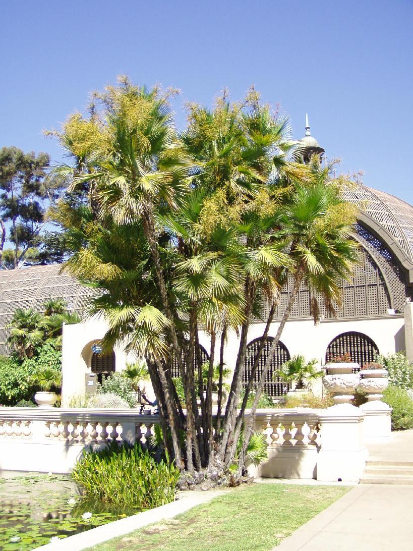Macathur palm